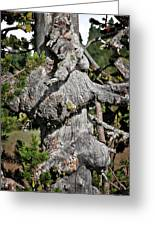 Whitebark Pine Tree - Iconic Endangered Keystone Species Greeting Card by Christine Till