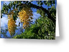 Wilhelmina Tenney Rainbow Shower Tree Makawao Maui Flowering Trees Of Hawaii Greeting Card by Sharon Mau
