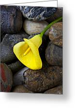 Yellow Calla Lily On Rocks Greeting Card by Garry Gay