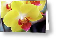 Yellow Phalaenopsis Orchids Greeting Card by Rona Black