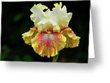Yellow White And Burgundy Iris Greeting Card by Grant Groberg