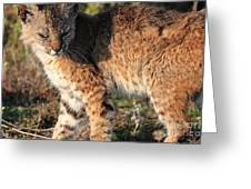 Young Bobcat 01 Greeting Card by Wingsdomain Art and Photography
