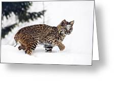 Young Bobcat Playing In Snow Greeting Card by Melody Watson
