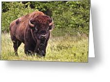 Young Buffalo Greeting Card by Tamyra Ayles