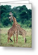Young Male Giraffes Necking Greeting Card by Greg Dimijian