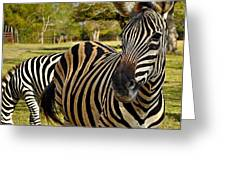 Zebra Greeting Card by John Collins