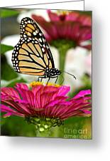 Zinnia Rose And Monarch Greeting Card by Steve Augustin
