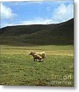 Cow And Calf. Aubrac . France. Metal Print by Bernard Jaubert