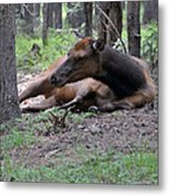 Elk In  Yellowstone Park  Metal Print by Larry Stolle
