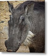 African Boar Metal Print by Dave Hall