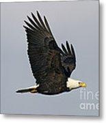 Bald Eagle In Flight Metal Print by Jim Zipp