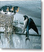 Barn Swallows Metal Print by Hans Reinhard