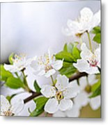 Cherry Blossoms Metal Print by Elena Elisseeva