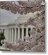 Cherry Blossoms With Jefferson Memorial - Washington Dc - 01133 Metal Print by DC Photographer