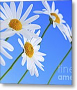 Daisy Flowers On Blue Background Metal Print by Elena Elisseeva