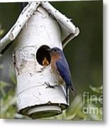 Eastern Bluebird Metal Print by Linda Freshwaters Arndt