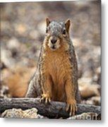 Eastern Fox Squirrel Metal Print by Brandon Alms