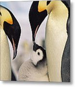 Emperor Penguin Parents With Chick Metal Print by Konrad Wothe