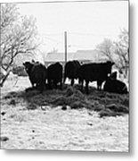 feed and fresh grass laid out for cows on winter farmland Forget Saskatchewan Canada Metal Print by Joe Fox