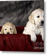 Golden Retriever Puppies Metal Print by Angel  Tarantella