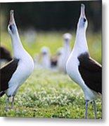 Laysan Albatross Courtship Dance Hawaii Metal Print by Tui De Roy