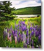 Lupin Flowers In Newfoundland Metal Print by Elena Elisseeva