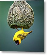 Masked Weaver At Nest Metal Print by Johan Swanepoel