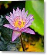 Purple Lotus  Metal Print by Raimond Klavins