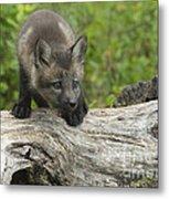 Red Fox Kit Metal Print by Sandra Bronstein