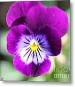 Viola Named Sorbet Plum Velvet Jump-up Metal Print by J McCombie