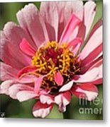 Zinnia From The Whirlygig Mix Metal Print by J McCombie