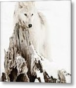 Arctic Wolf Pup Metal Print by Wolves Only