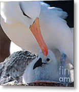 Black-browed Albatross With Chick Metal Print by Art Wolfe