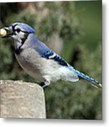 Bluejay Metal Print by Jim Nelson