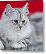 British Longhair Kitten Metal Print by Melanie Viola