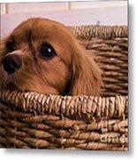 Cavalier King Charles Spaniel Puppy In Basket Metal Print by Edward Fielding