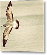 Herring Gull In Flight Metal Print by Karol Livote