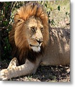 Male Lion On The Masai Mara  Metal Print by Aidan Moran