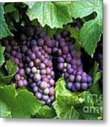 Pinot Gris Grapes Metal Print by Kevin Miller