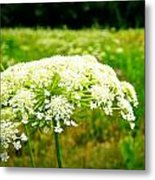 Queen Anne's Lace Metal Print by Carol Toepke