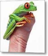 Red-eyed Tree Frog Agalychnis Callidryas Metal Print by Corey Hochachka