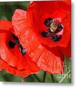 Beautiful Poppies 2 Metal Print by Carol Lynch