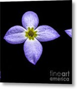 Bluets Metal Print by Thomas R Fletcher