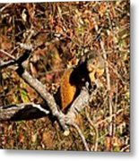 Eastern Fox Squirrel Metal Print by Jack R Brock
