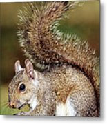 Eastern Gray Squirrel Metal Print by Millard H. Sharp