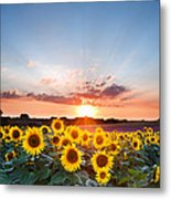 Sunflower Summer Sunset Landscape With Blue Skies Metal Print by Matthew Gibson