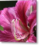 Bauhinia Blakeana - Hong Kong Orchid - Hawaiian Orchid Tree  Metal Print by Sharon Mau