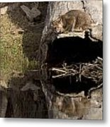 Bobcat  Felis Rufus Metal Print by Carol Gregory