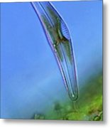 Diatom, Light Micrograph Metal Print by Science Photo Library
