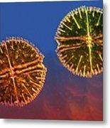 Micrasterias Desmids, Light Micrograph Metal Print by Science Photo Library